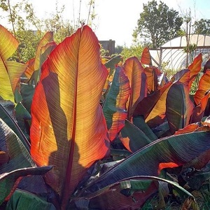 Ensete Maurelii unusual plants